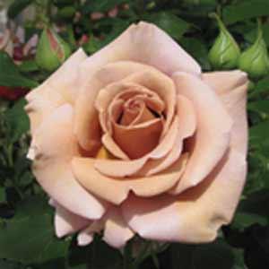 Qr Rose Codes Fsjrg