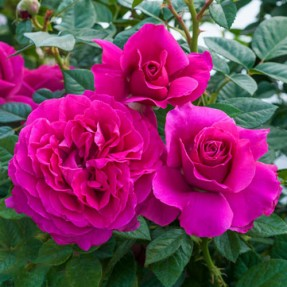 New 2016 Downton Abbey Rose